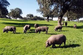 Sevilla_sevilla-sights-ham-varkens